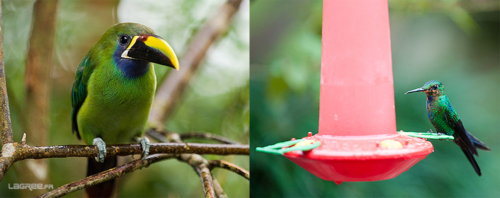 toucanet Emeraude